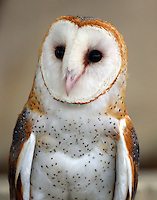 Adult male barn owl