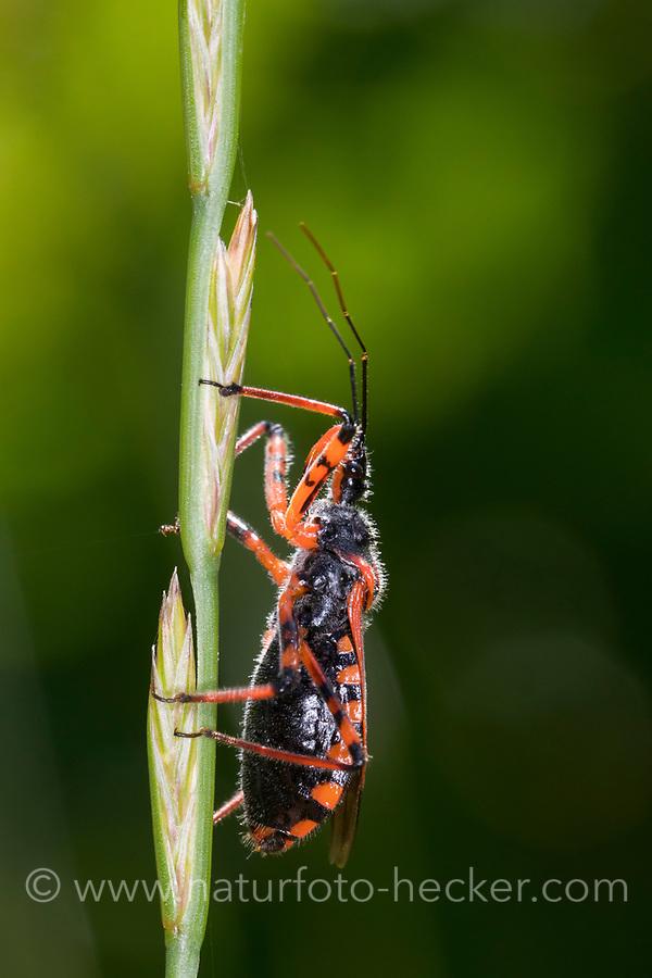 Rote Mordwanze, Zornige Raubwanze, Mordwanze, Raubwanze, Rhynocoris iracundus, Rhinocoris iracundus, Rhynocoris iracundus, red assassin bug, Reduviidae, Raubwanzen, assassin bugs, conenose bugs, Österreich, Kärnten