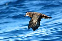 Great-winged Petrel in flight off Newcastle