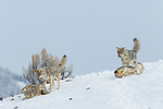 Coyote (Canis latrans) pack in dominance displays in winter, Lamar Valley, Yellowstone National Park, Wyoming