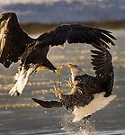 """Food Fight!"", Alaska"