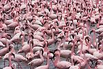 Lesser flamingos, Lake Naivasha, Kenya