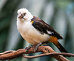 A white-headed buffalo weaver photographed at the San Diego Zoo Safari Park.