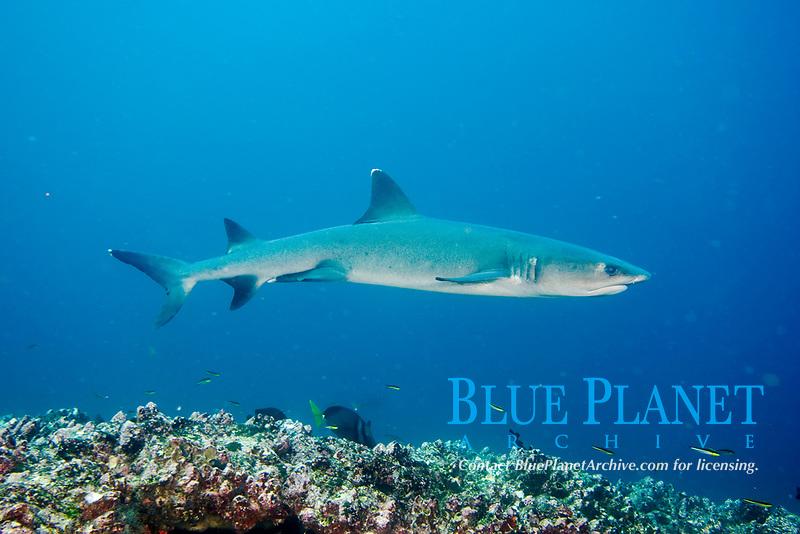 White Tip Reef shark, Triaenodon obesus, Pacific Ocean, Ecuador, Galapagos, White tip reef shark in the Galapagos.