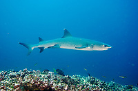 White Tip Reef shark, Triaenodon obesus, Pacific Ocean, Ecuador, Galapagos, White tip reef shark in the Galapagos.