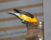 Prothonotary warbler feeding babies
