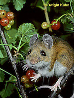 MU50-028z  White-Footed Mouse - eating berries -  Peromyscus leucopus