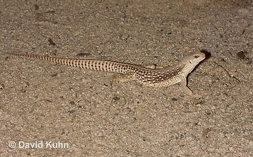0611-1005  Desert Iguana (Mojave Desert), Dipsosaurus dorsalis  © David Kuhn/Dwight Kuhn Photography