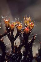 Verstecktkapseliges Spalthütchen, Schistidium apocarpum,  Grimmia apocarpa