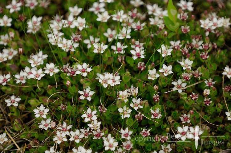 Tiny tundra flowers can be found by the thousands on any hillside along the Kongakut River, in Alaska's Arctic National Wildlife Refuge.