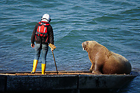 Pictured: An RNLI volunteer tries to move Wally the walrus off the RNLI slipway in Tenby, Wales, UK.<br /> Re: An RNLI lifeboat volunteer had to use an air-horn to budge Wally the walrus off the station's slipway in Tenby, Wales, UK.<br /> The mammal was basking in the sun on Monday afternoon when Tenby RNLI lifeboat were called to respond to a potential emergency involving a canoe.<br /> Despite one crew member's best efforts with a brush, the sturdy sea creature was not moving.<br /> Wally has become a tourist attraction, having strayed unusually south to the Pembrokeshire coast last month.