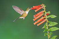 Violet-tailed Sylph (Aglaiocercus coelestis), female feeding on flower, Mindo, Ecuador, Andes, South America