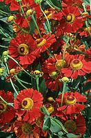 Helenium 'Ruby Tuesday' Sneezeweed