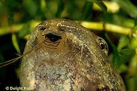 FR02-010x  Bull Frog - close-up of mouth of tadpole - Lithobates catesbeiana, formerly Rana catesbeiana