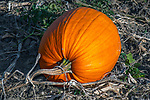 Pumpkin in the field ready for harvest still attached to vine, Concord, Massachusetts
