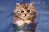 Carl, ANIMALS, photos, grey kitten, can(SWLA2047,#A#) Katzen, gatos