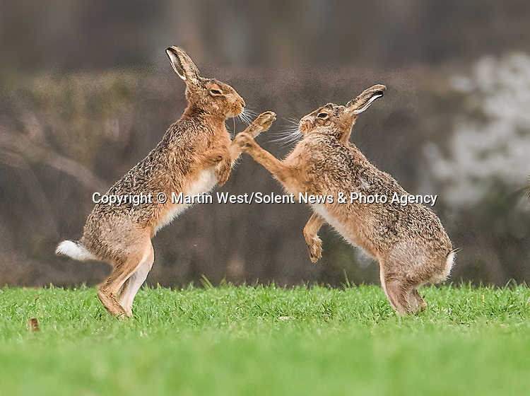 """MAD AS A MARCH HARE<br /> <br /> Pictured: Two mad march hares do battle as they appear to be boxing each other in a field near Hitchin, Hertfordshire. <br /> <br /> The images were taken by Martin West, who spent hour observing the hares waiting for the perfect moment.  <br /> <br /> The 37 year old said """"This behaviour is usually observed at the start of spring during mating season, with he females getting on their hind legs to box the males away"""".<br /> <br /> """"I've been trying to capture this for years and I'm over the moon to have finally seen it!"""" <br /> <br /> Please byline: Martin West/Solent News<br /> <br /> © Martin West/Solent News & Photo Agency<br /> UK +44 (0) 2380 458800"""