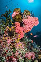 Orange and Green sun coral, Tubastraea faulkneri and Tubastraea micranthus, Anilao, Batangas, Philippines, Pacific Ocean