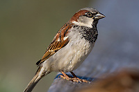 Male House Sparrow (Passer domesticus).  California. January.