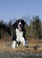 0730-0832  English Springer Spaniel Running, Canis lupus familiaris © David Kuhn/Dwight Kuhn Photography.