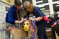 Bev Mitchell and Anne Wooden check a greyhound's ear for its tattoo marking at Greyhound Pets Inc.