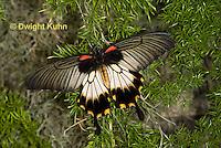 LE45-529z Great Mormon Swallowtail Butterfly, Papilio memnon, Southeast Asia