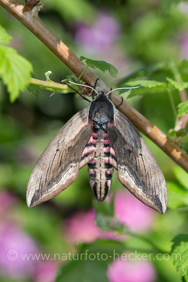 Ligusterschwärmer, Liguster-Schwärmer, Sphinx ligustri, privet hawkmoth, Privet Hawk-moth, Privet Hawk Moth, Le sphinx du troène, Schwärmer, Sphingidae, hawkmoths, hawk moths, sphinx moths
