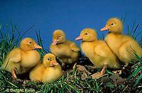 DG10-017x  Pekin Duck - two day old ducklings exploring