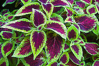 Solenostemon (Coleus) 'Briarwood Beauty' annual foliage plant two toned in green and magenta red ornamental leaves