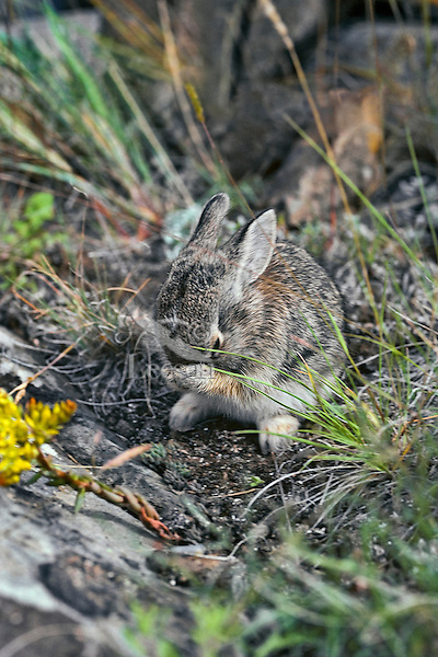 Young mountain cottontail rabbit or Nuttall's Cottontail (Sylvilagus nuttallii) washing face