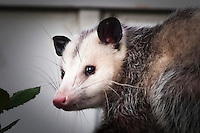 Opossum, close up, along a fence in an urban neighborhood.