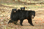 Bear cubs hitching a ride on mums back by Shivang Mehta