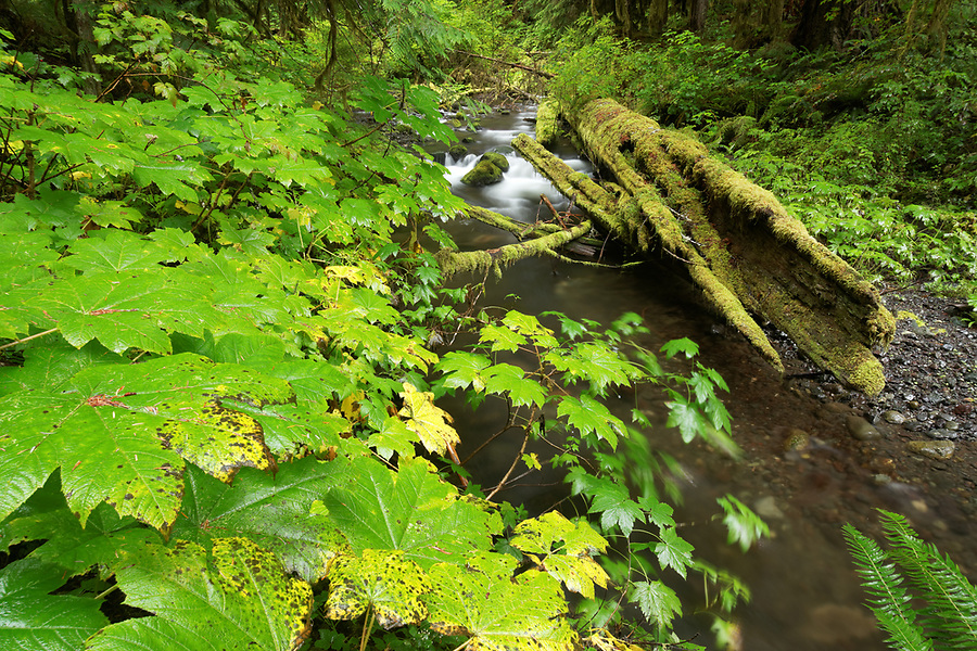 The South Branch of Little River flows through old growth arboreal rainforest, decaying cedar, Olympic National Park, Clallam County, Washington, USA