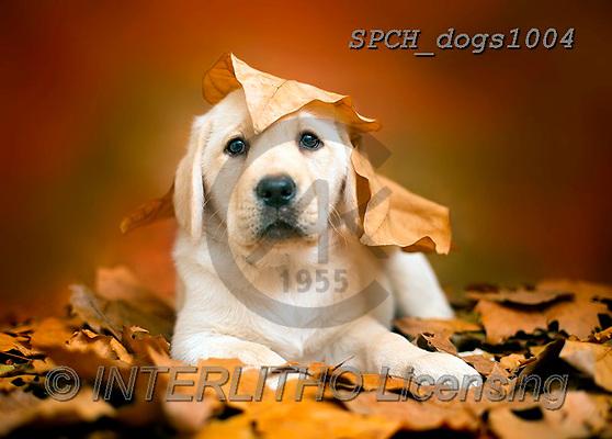 Xavier, ANIMALS, REALISTISCHE TIERE, ANIMALES REALISTICOS, dogs, photos+++++,SPCHDOGS1004,#A#, EVERYDAY
