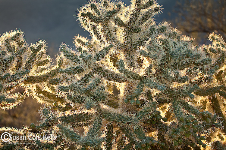 Cholla cactus in the Sonoran Desert in Saguaro National Park - Rincon Mountain District, Tucson, AZ, USA