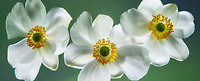 Close   up of white anemone flowers