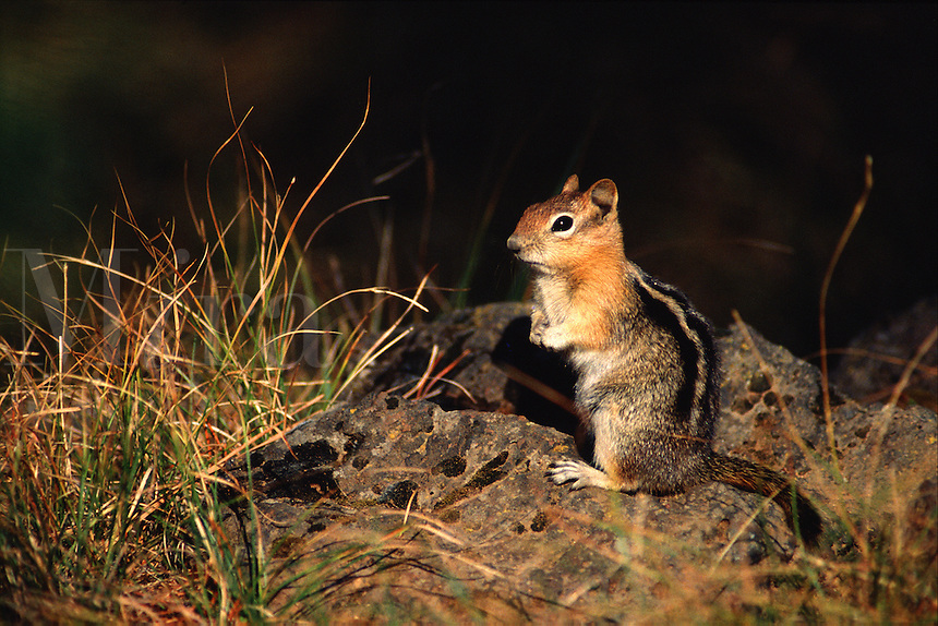 A Golden-mantled ground squirrel at night. Oregon.