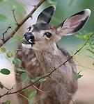 Carson City deer