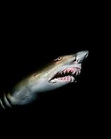 Sand Tiger Shark at Night (Carcharias taurus). North Carolina, USA, Atlantic Ocean