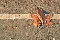 Dried vine leaf on fallen on the street in Hyde Park during winter season.