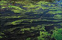 Gaggiano (Milano). Alghe verdi nel Naviglio Grande in secca --- Gaggiano (Milan). Green algae in the shallow water of the canal Naviglio Grande