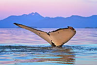 humpback whale, Megaptera novaeangliae, fluke, at sunset, Frederick Sound, Alaska, USA, Pacific Ocean
