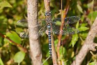 Herbst-Mosaikjungfer, Herbst Mosaikjungfer, Herbstmosaikjungfer, Männchen, Aeshna mixta, scarce aeshna, migrant hawker
