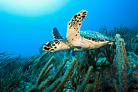 hawksbill sea turtle, Eretmochelys imbricata, Palm Beach, Palm Beach County, Florida, USA, Atlantic Ocean