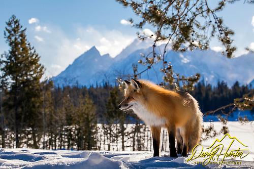 Red Fox, Grand Tetons
