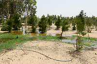 EGYPT, Ismallia , Sarapium forest in the desert, the trees are irrigated by treated sewage water from Ismalia / AEGYPTEN, Ismailia, Sarapium Forstprojekt in der Wueste, die Baeume werden mit geklaertem Abwasser der Stadt Ismalia bewaessert