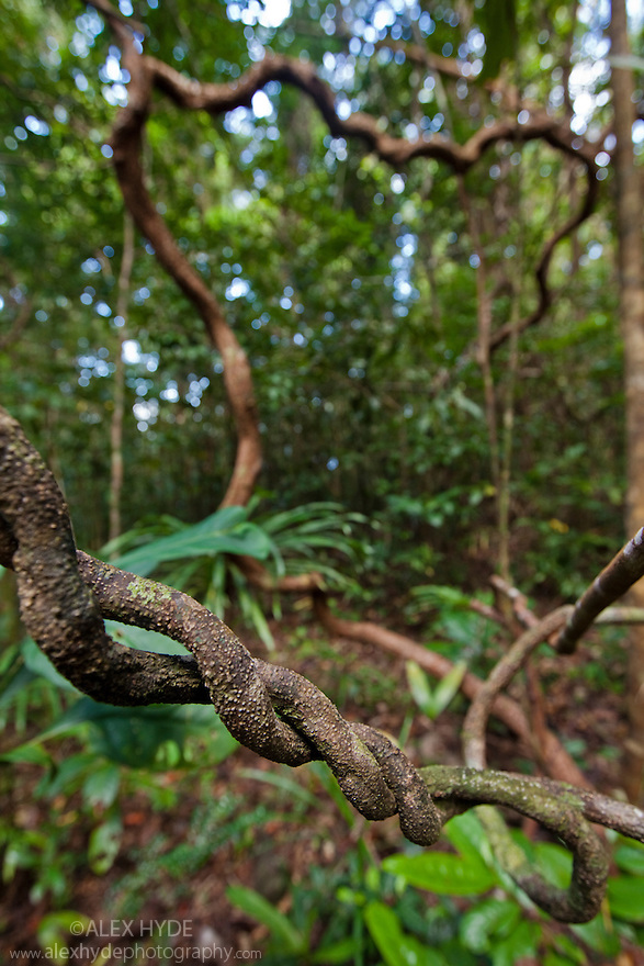Twisted vines, lowland rain forest. Masoala Peninsula National Park, north east Madagascar.