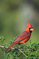 northern cardinal, Cardinalis cardinalis, male on Mountain Cedar, Juniperus ashei, Uvalde County, Hill Country, Texas, USA, North America