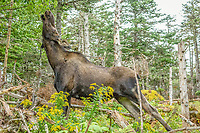moose, or elk, Alces alces, adult, cow, browsing on tree, grazing, Gros Morne National Park, Newfoundland, Canada