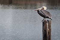 A Brown pelican, perched on a piling in San Leandro Bay at Martin Luther King Jr. Regional Shorline near the Oakland International Airport.
